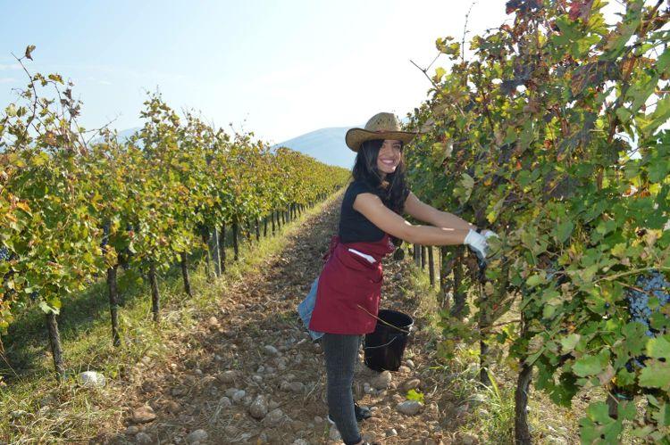 Сбор урожая винограда. Фото: Facebook, 13. jul Plantaže